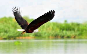 Uganda Safari - African Fish Eagle